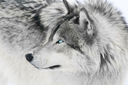 silver-wolf-1